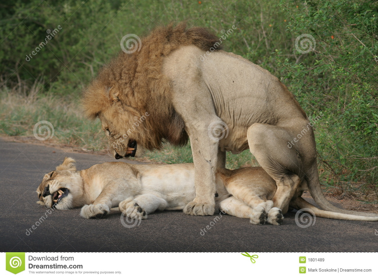 Two Lions Mating Royalty Free Stock Images - Image: 1801489