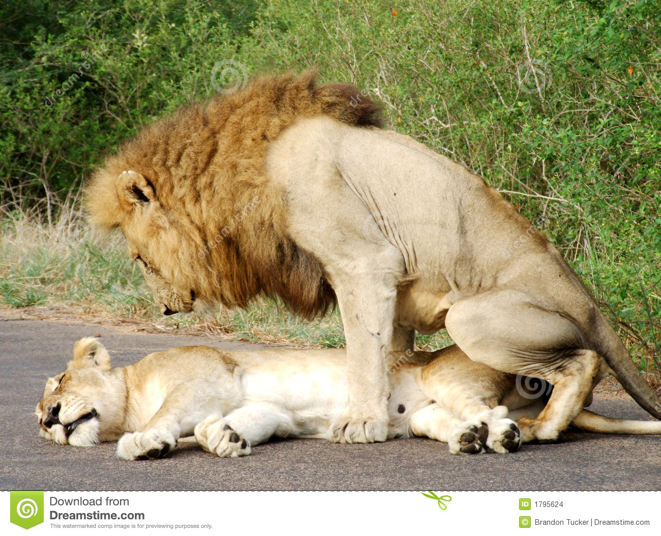 Two lions mating in the morning at Kruger National Park in South ...