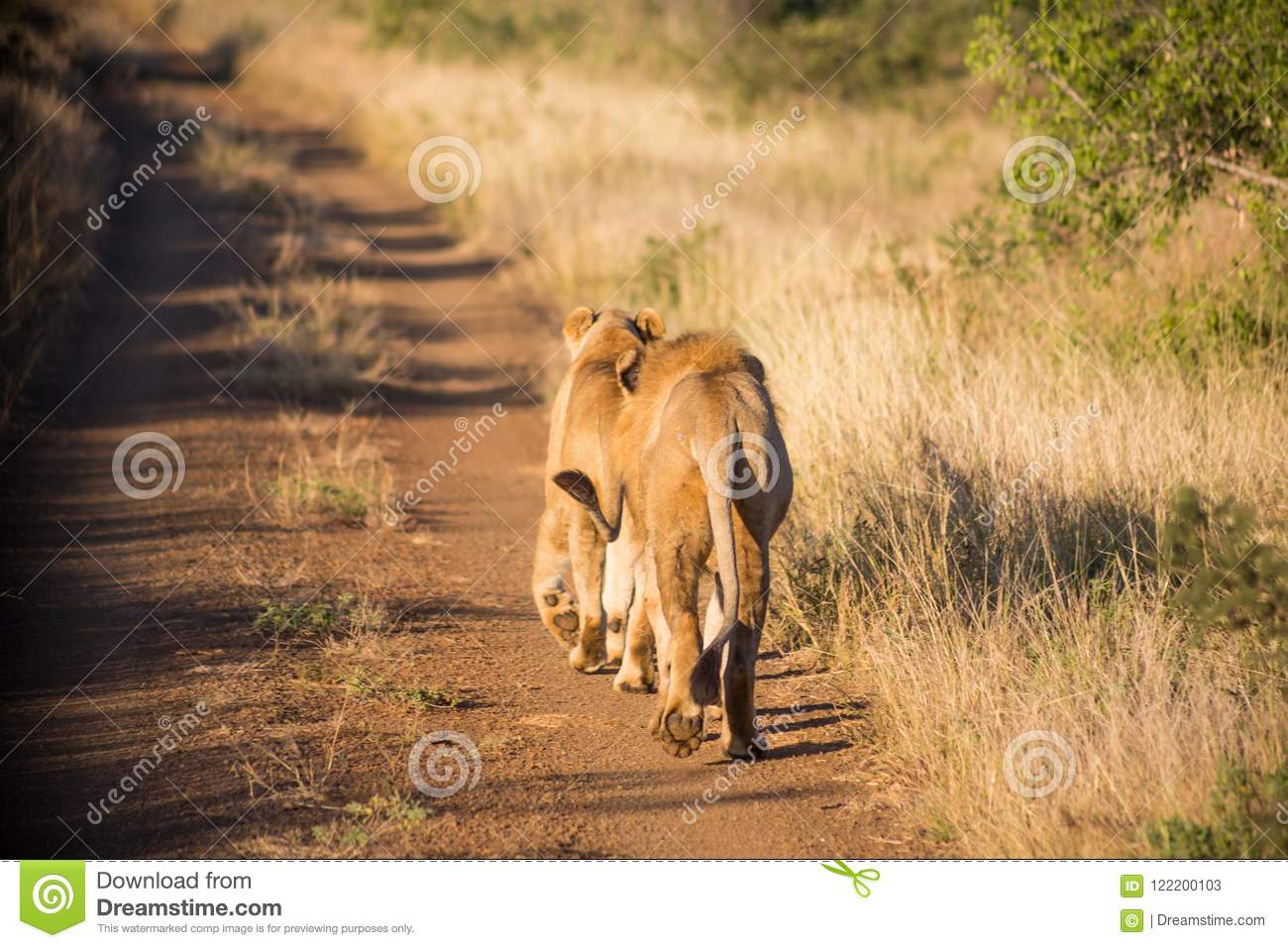 Two lions walking away on the dirt road