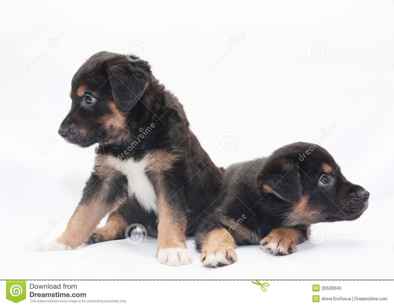 Two Little Black Puppy With Brown Spots Look In Different ...