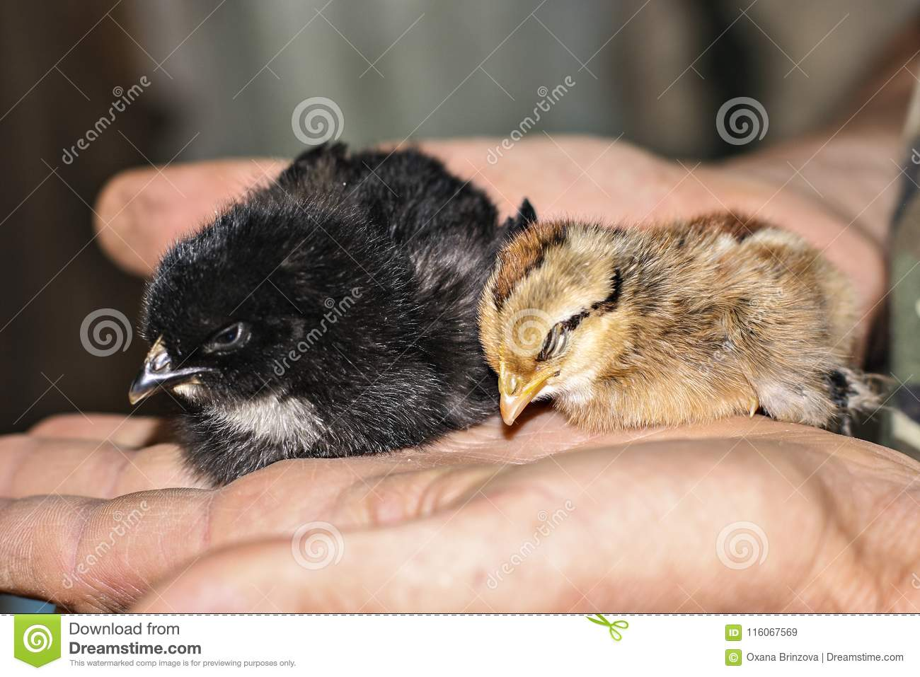 Two little cute baby chicks sitting on the hand.