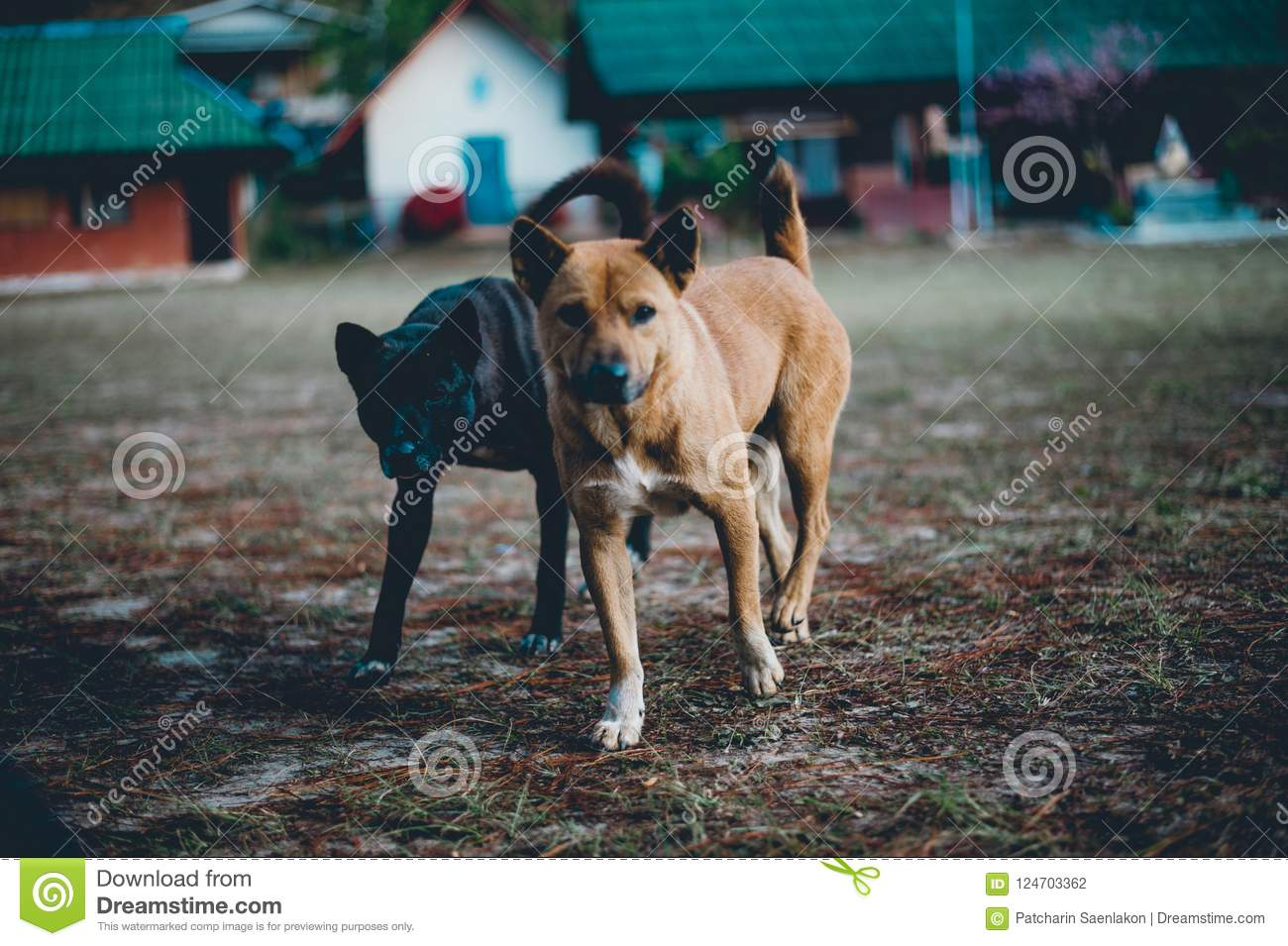 Two little dogs running In the yard happily I do not know what t