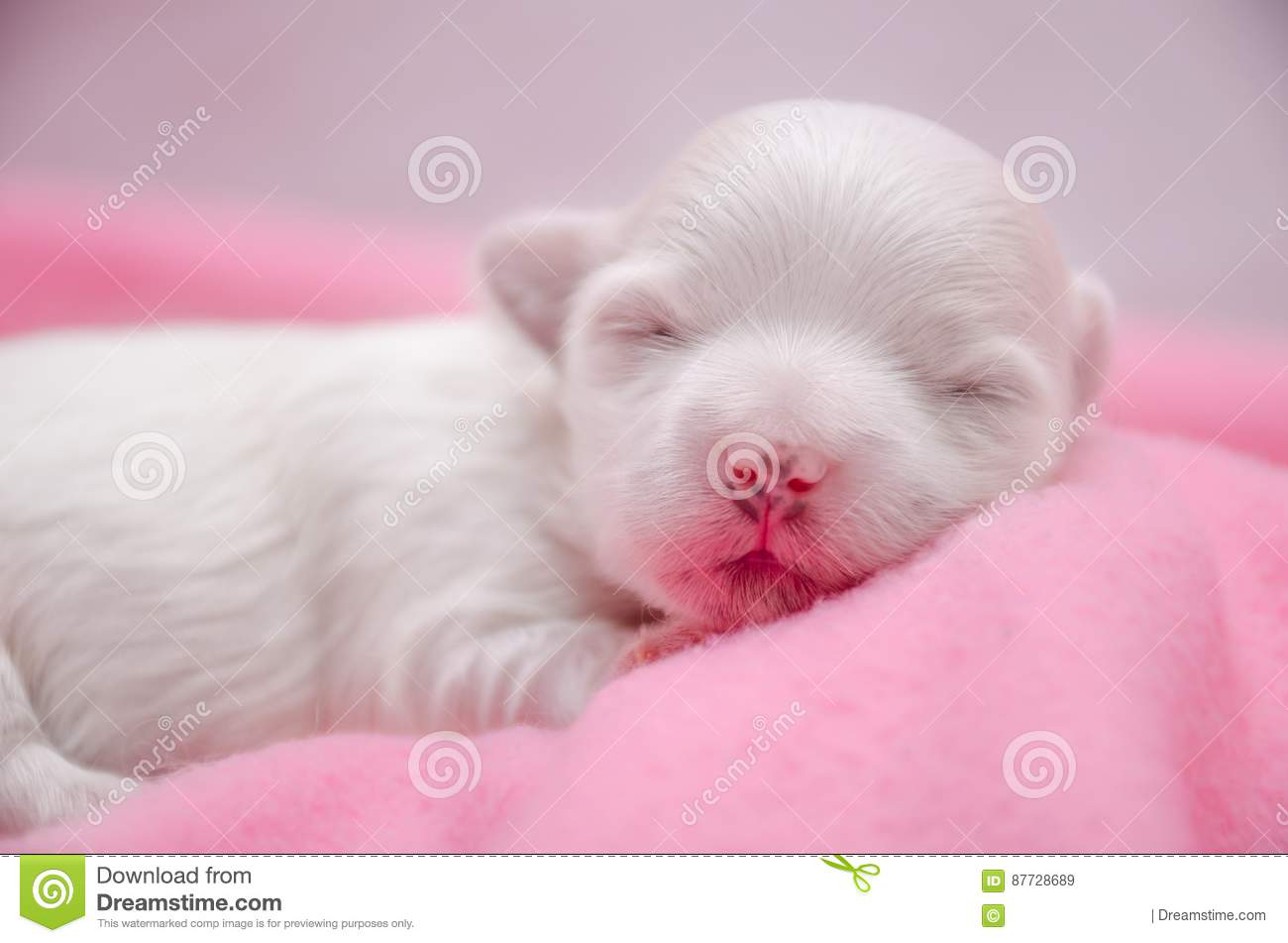 Little White Maltese Puppies Sleeping Stock Image Image Of Puppies Gently 87728689