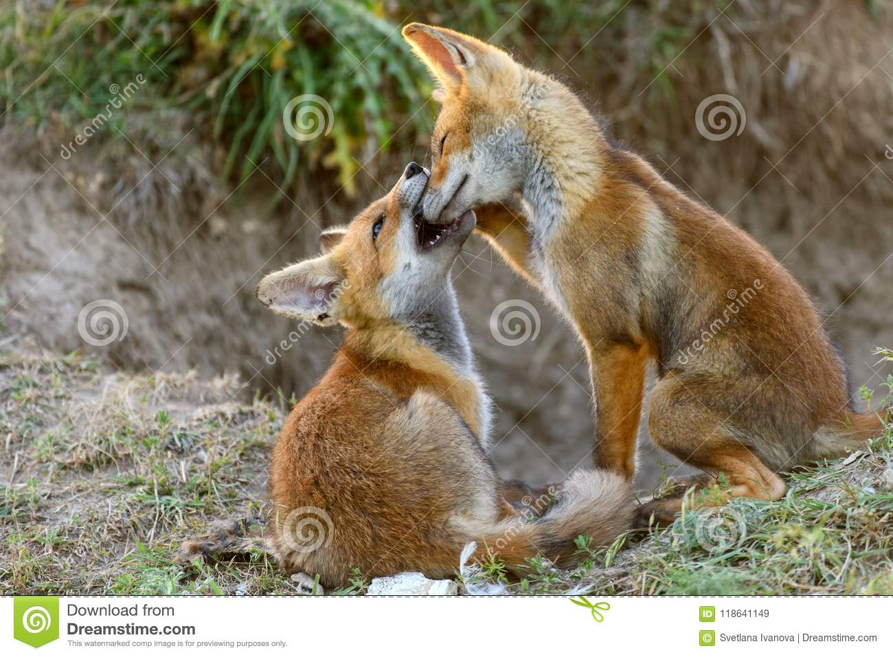 Two Little Red Fox playing near their burrows