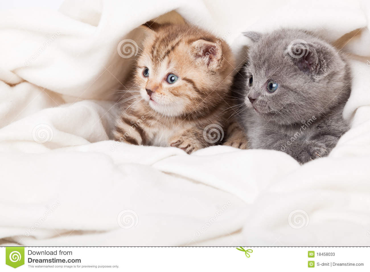 Download Two Little Scottish Fold Kittens Stock Image - Image of laying, indoors: 18458033