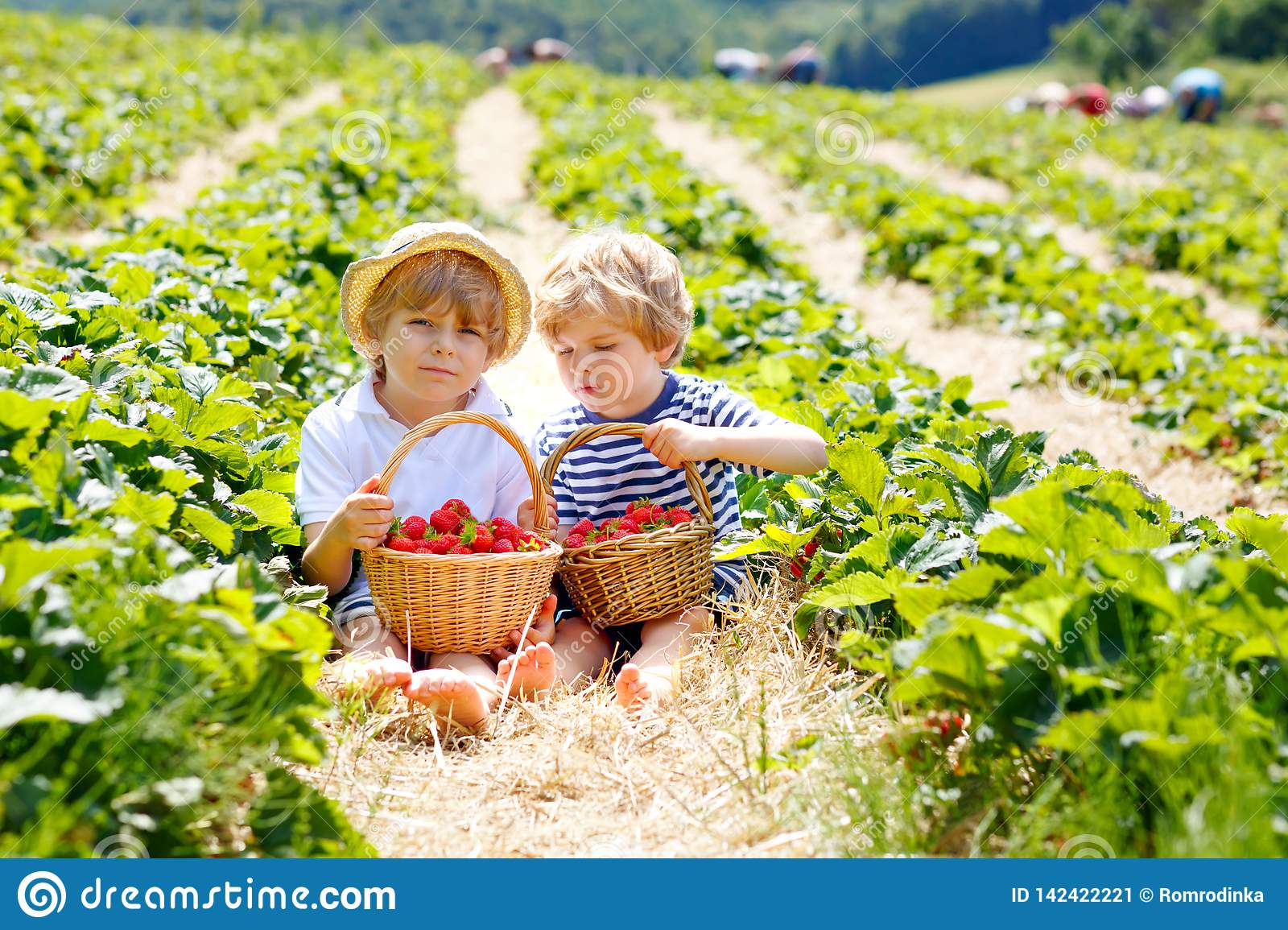 Two little sibling kids boys having fun on strawberry farm in summer. Children, cute twins eating healthy organic food
