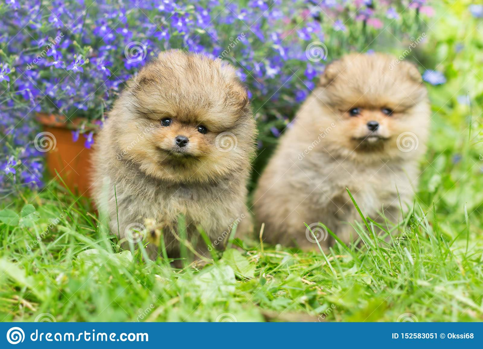Two little Spitz puppies walking