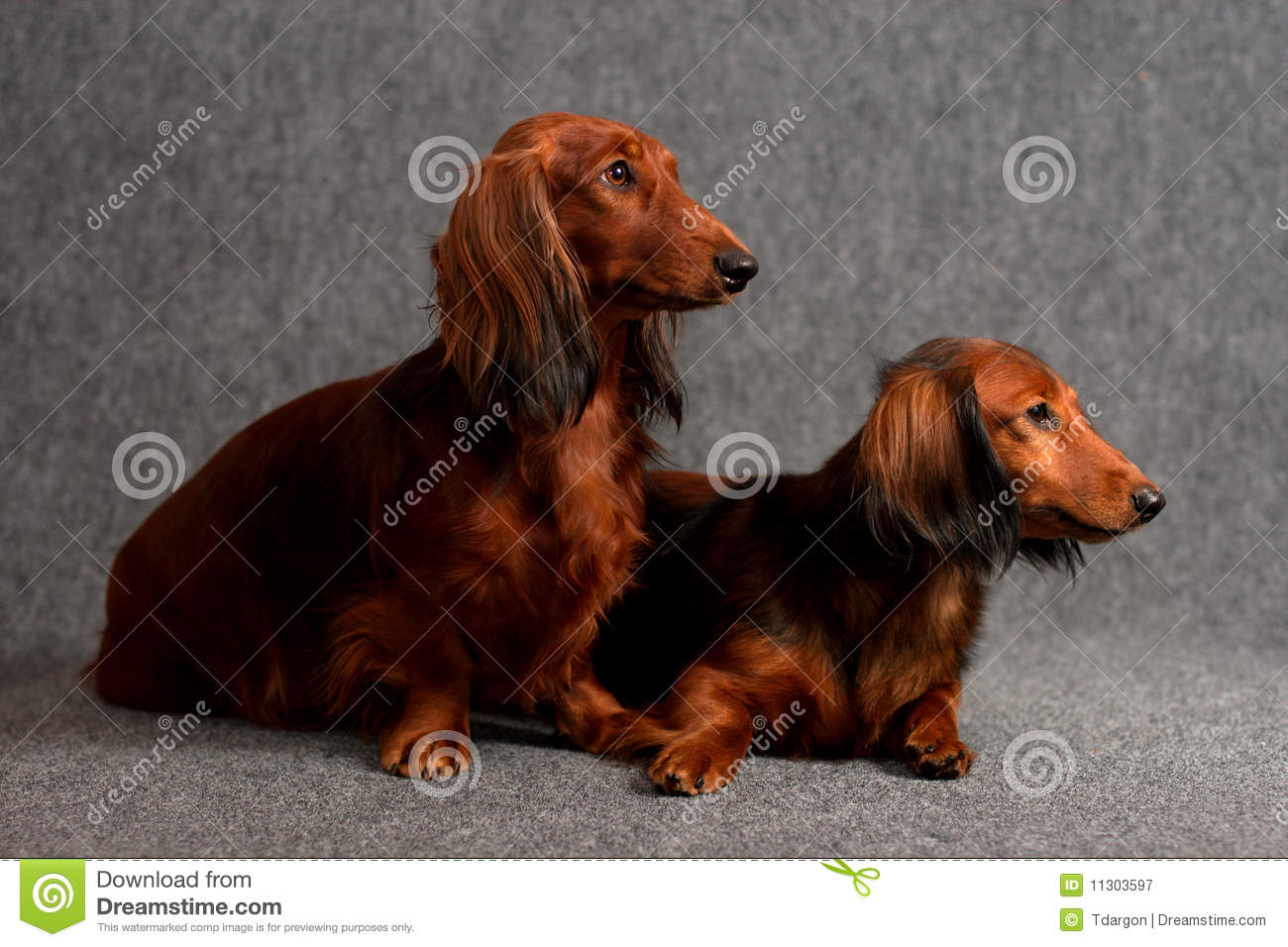Doxie lain