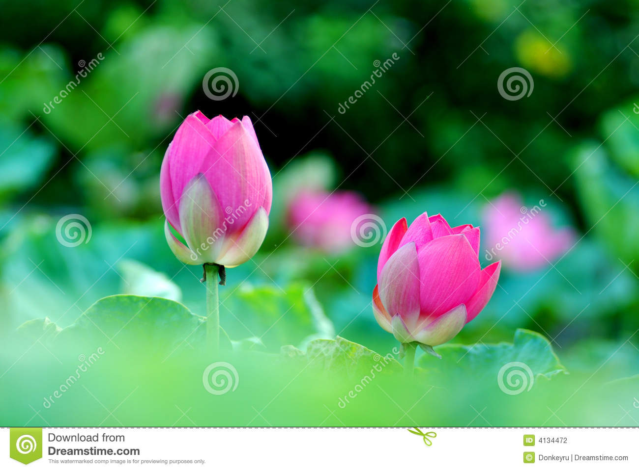 Two lotus flower buds stock photo image of buds seasonal 4134472 download two lotus flower buds stock photo image of buds seasonal 4134472 mightylinksfo