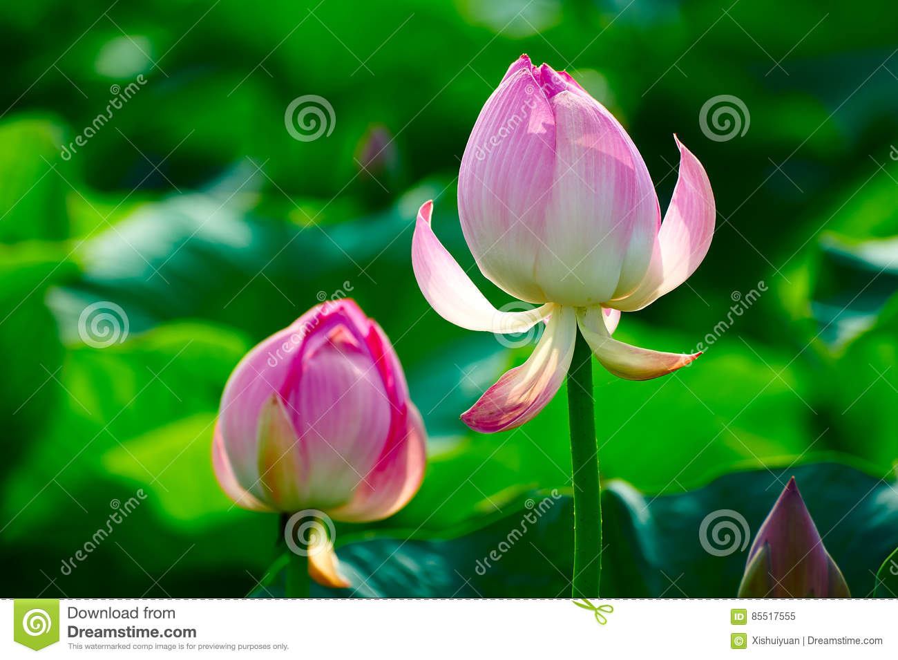 Two Lotus Flower Buds Stock Image Image Of Green Closeup 85517555