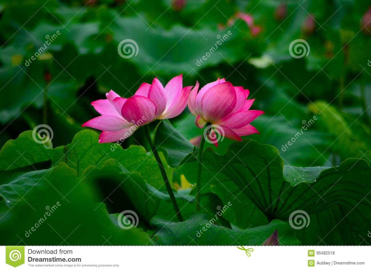 The two lotus flowers stock photo image of decoration 95482518 the two lotus flowers izmirmasajfo