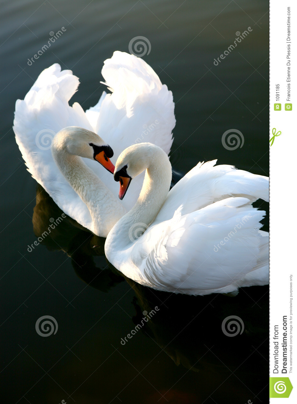 Two Love Swans
