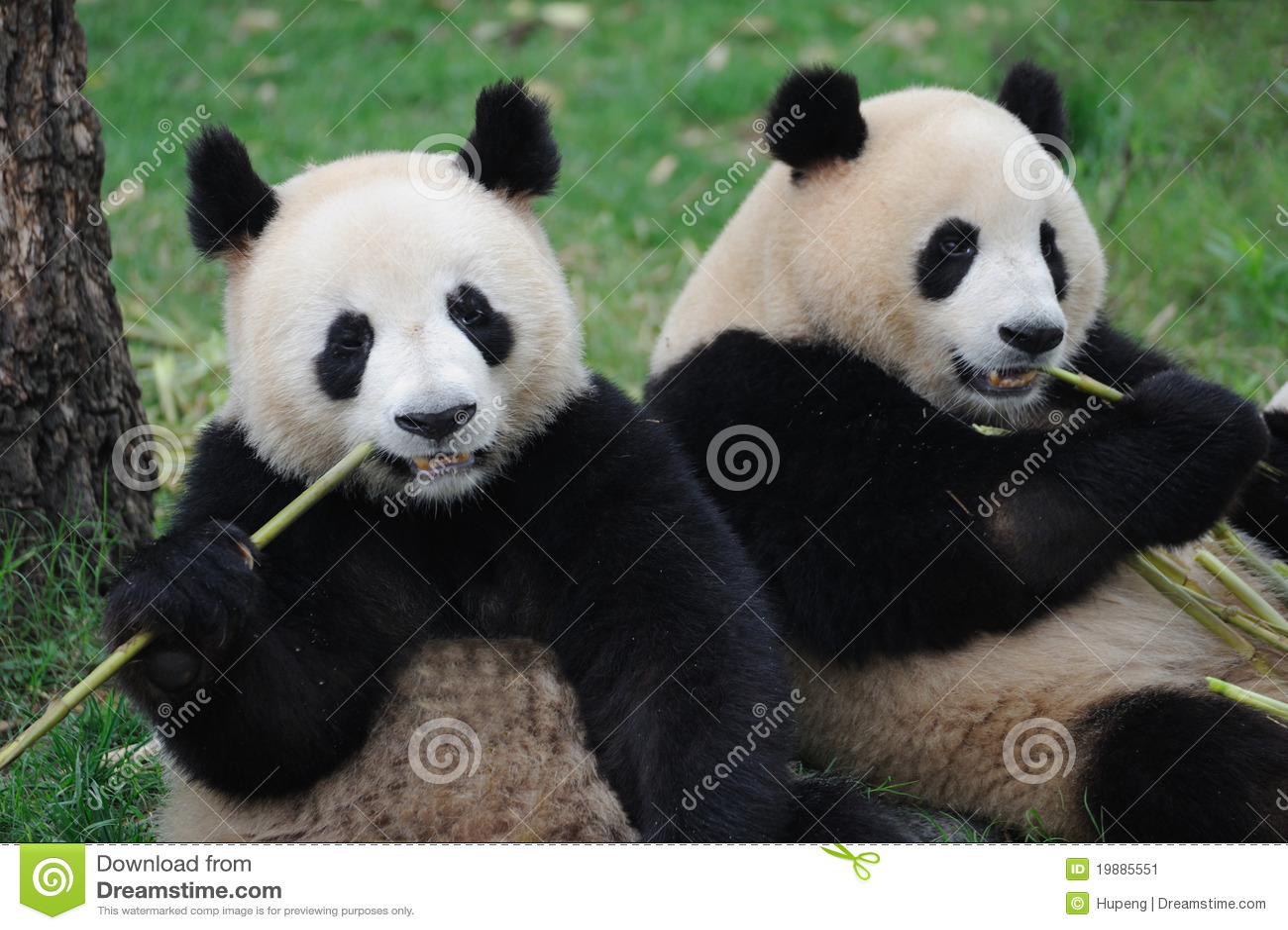 Two lovely pandas eating bamboo