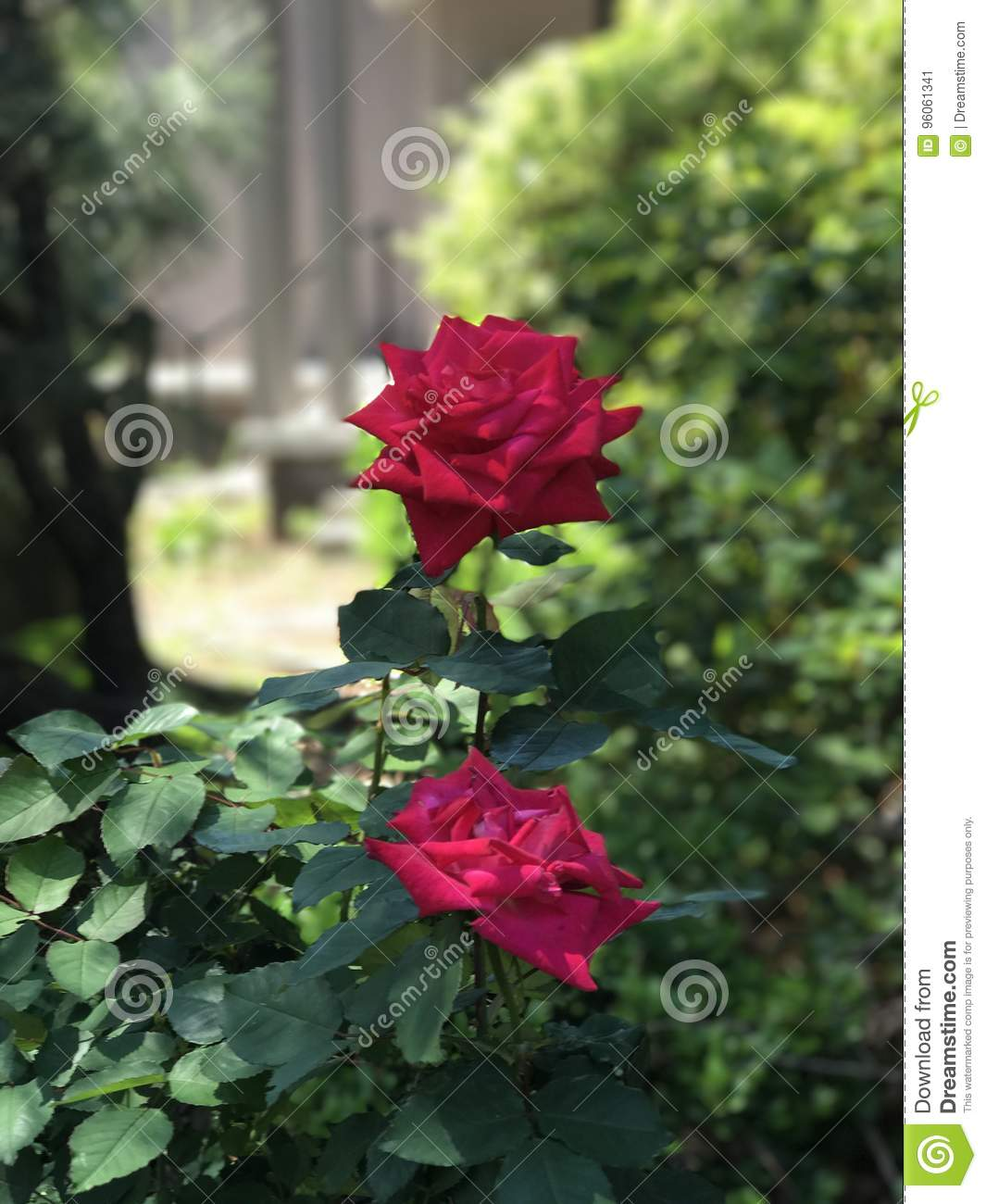 two lovely roses stock image. image of vibrant, lovely - 96061341