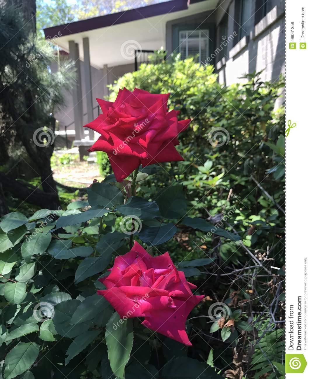 two lovely roses stock photo. image of roses, vibrant - 96061358
