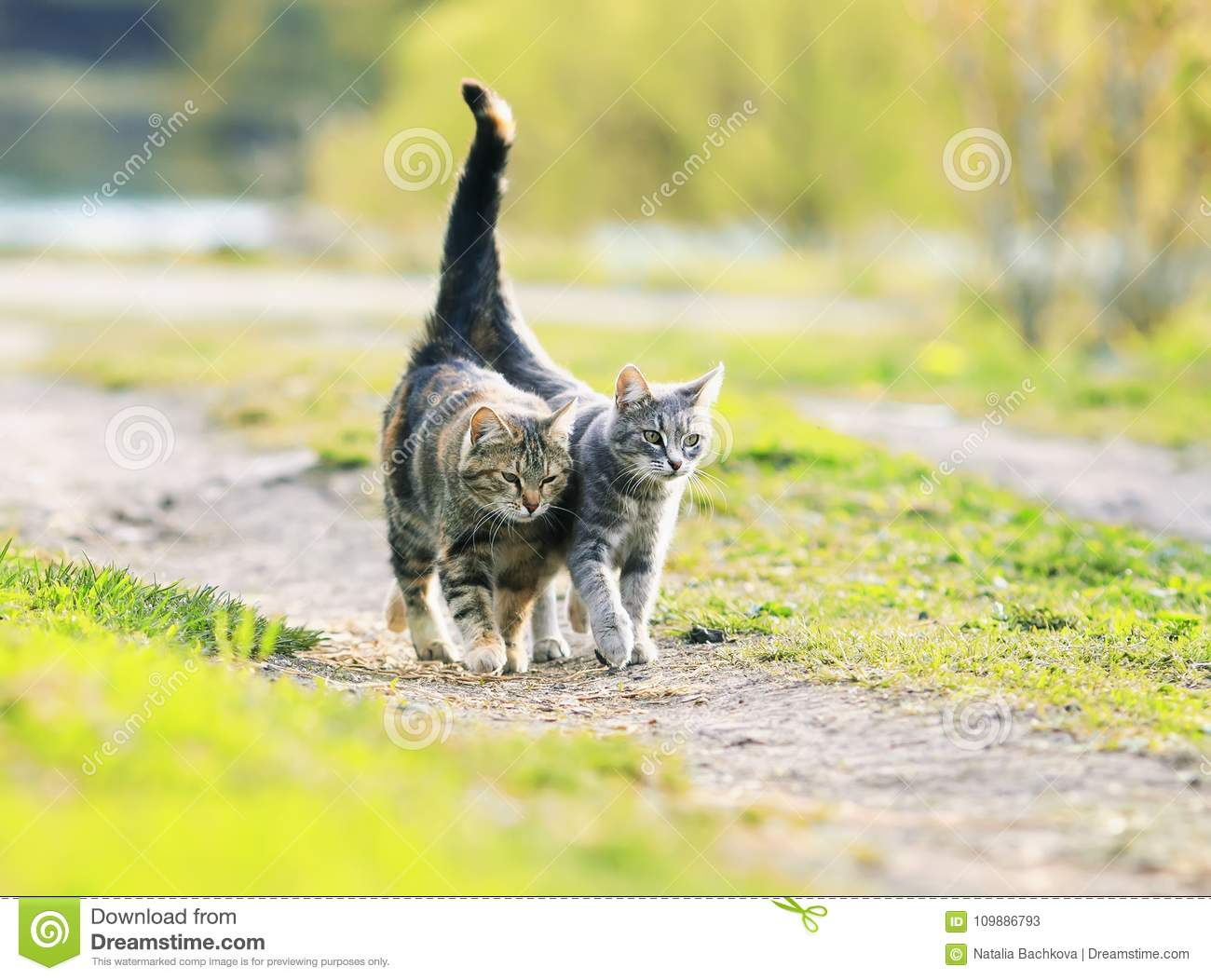 Two lovers cat walking near the juicy Sunny meadow in the sprin