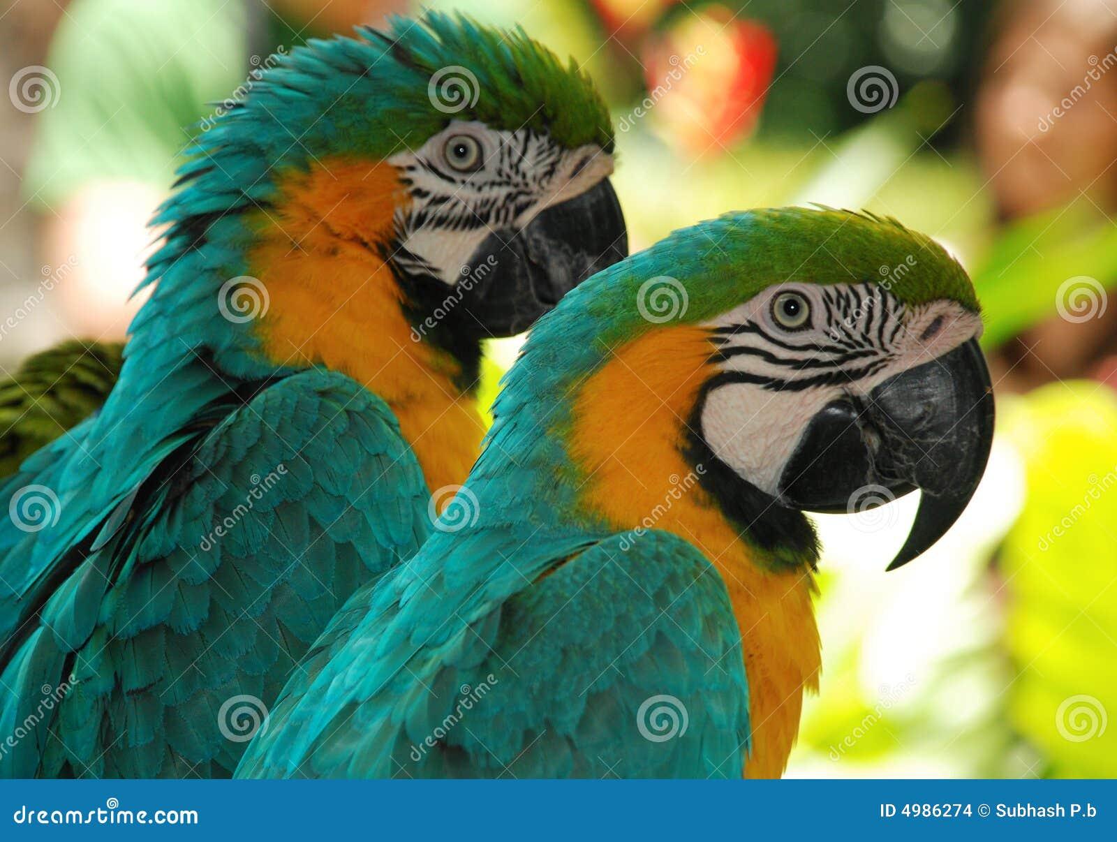 Two macaw love birds