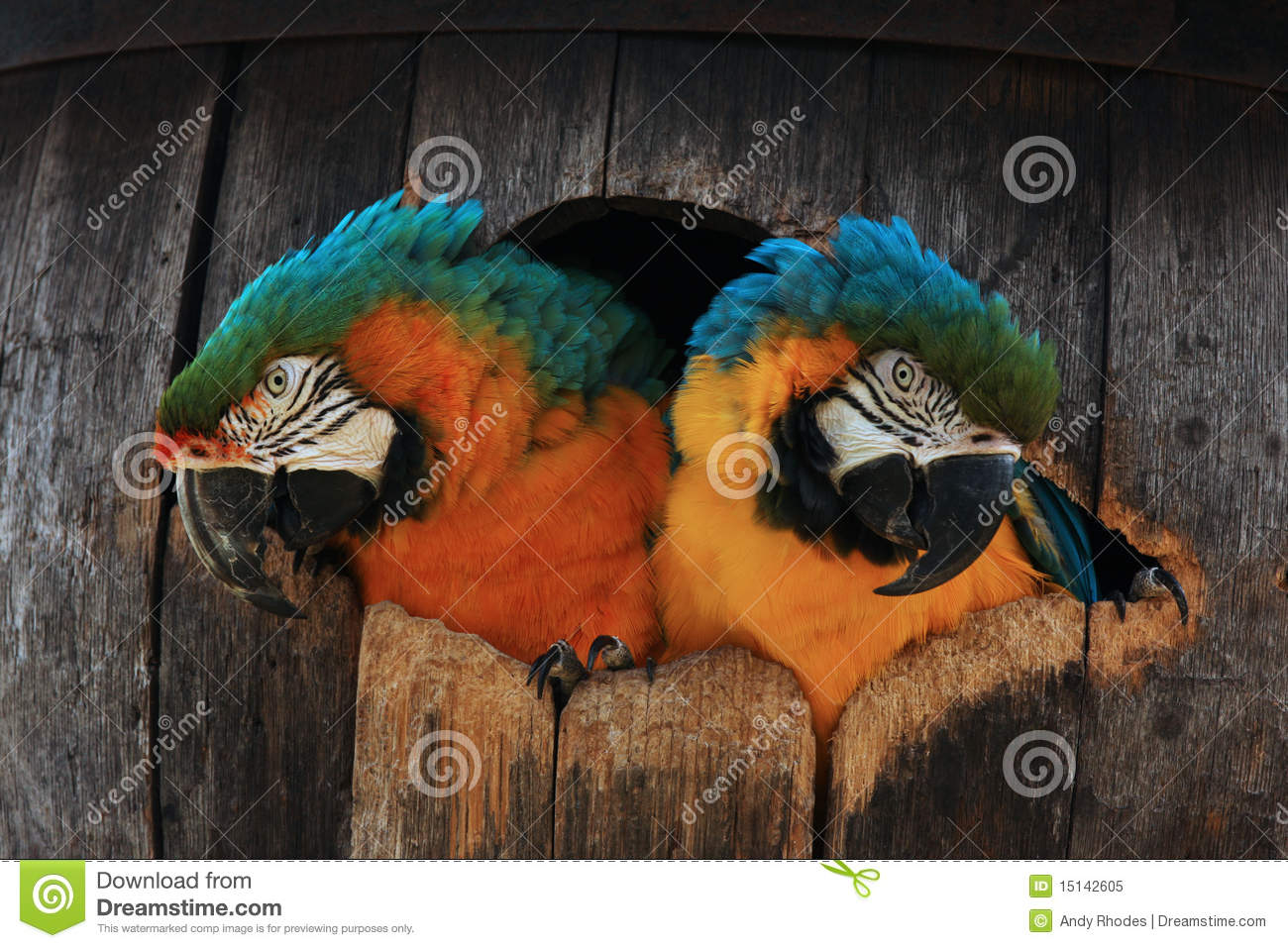 Two macaw parrots in a barrel