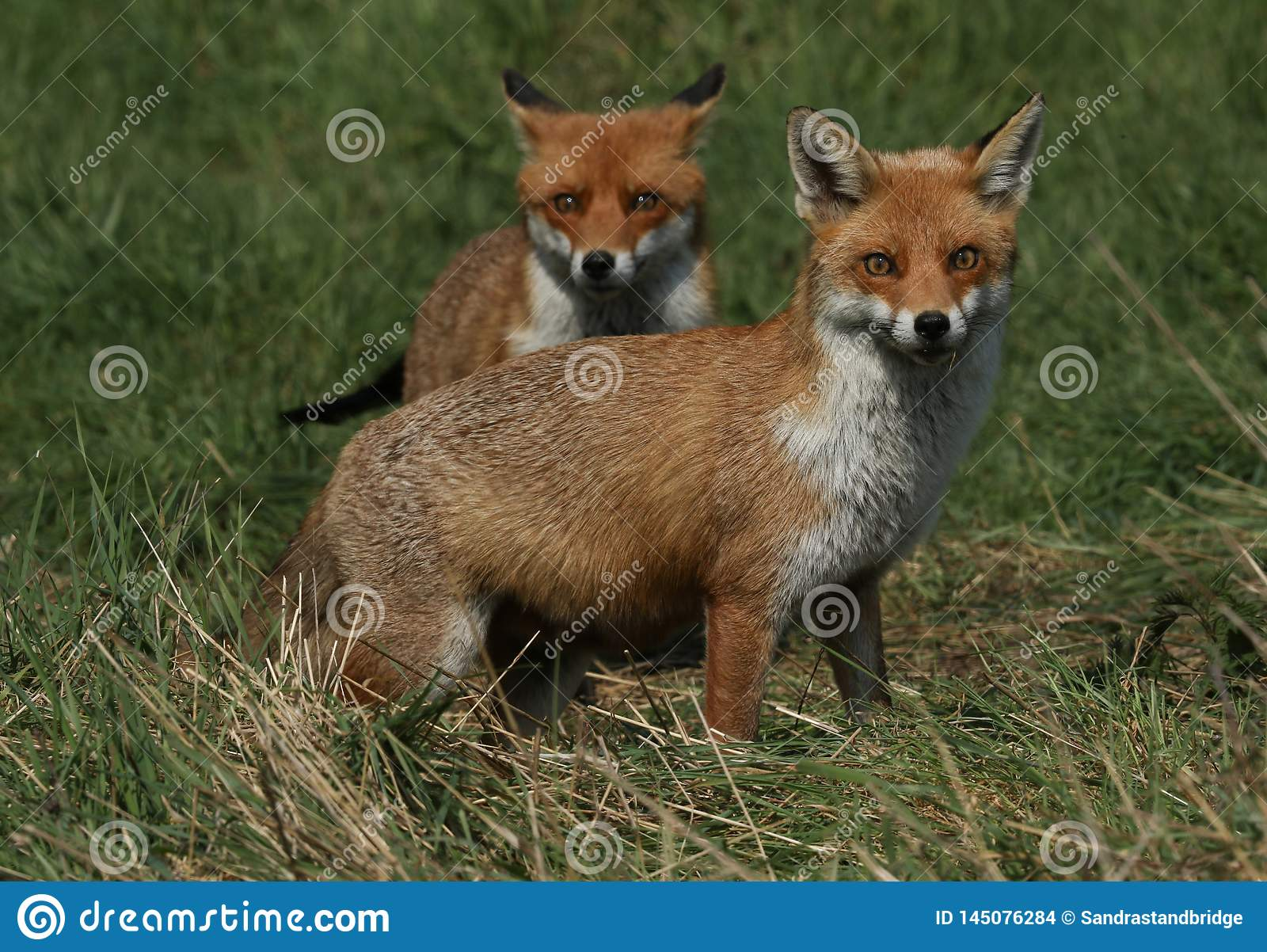 Two magnificent wild Red Fox Vulpes vulpes hunting for food to eat in the long grass.