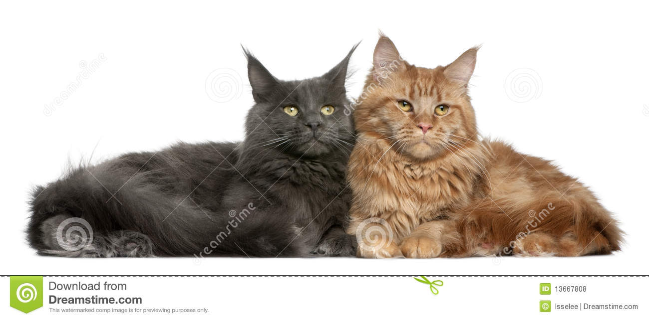 Two Maine coons, 15 months old