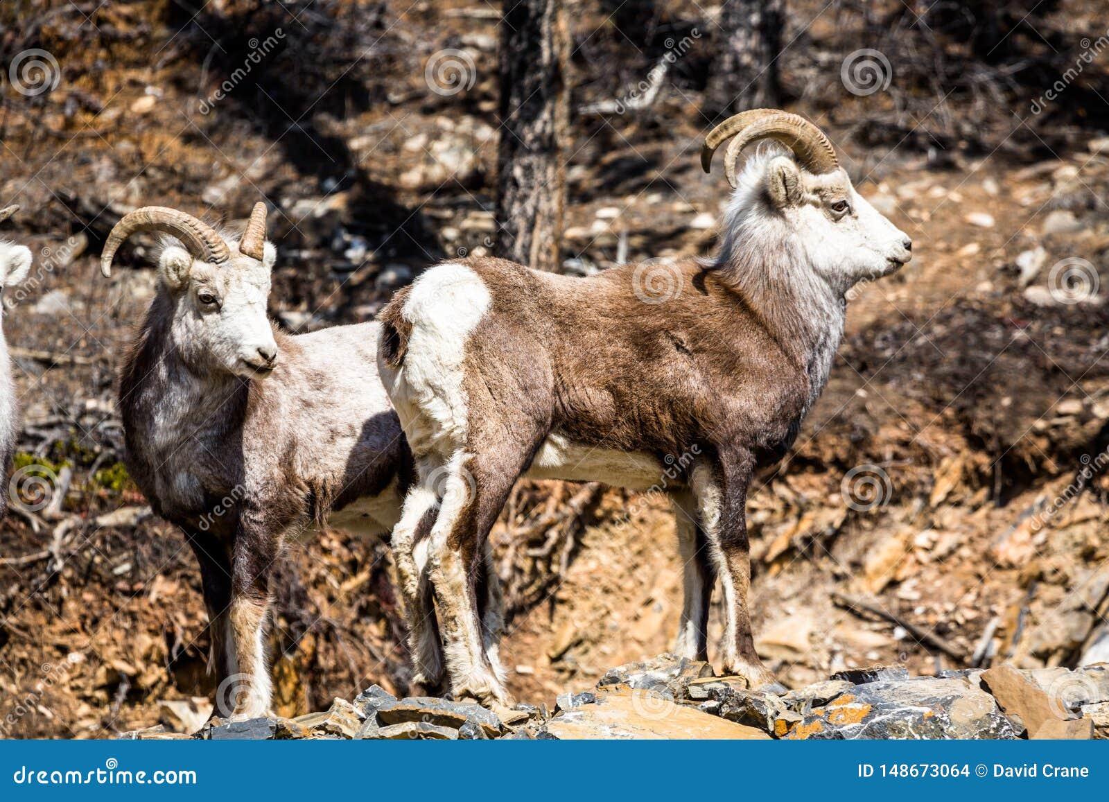 Two male Stone Sheep rams in southern Yukon Territory in Canada