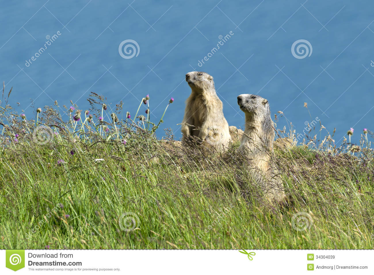 Two marmots on alert