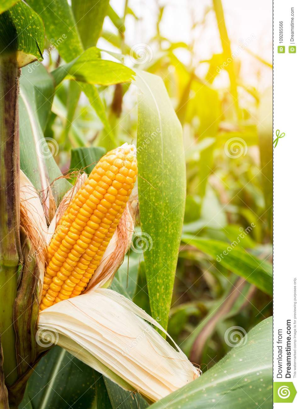 How long does sweetcorn take to mature