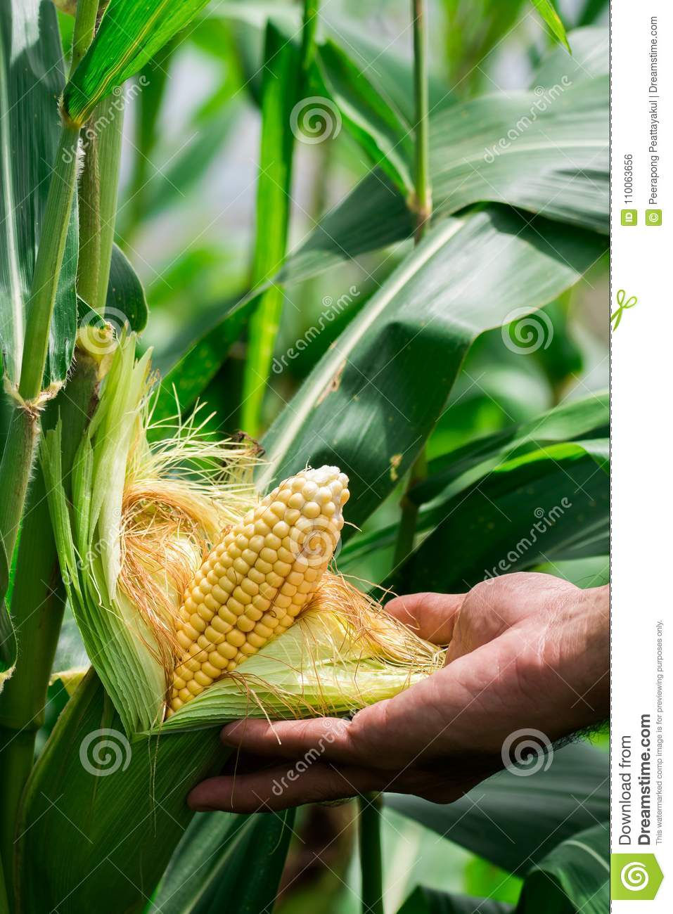 Two mature yellow cob of sweet corn on the field. Collect corn crop