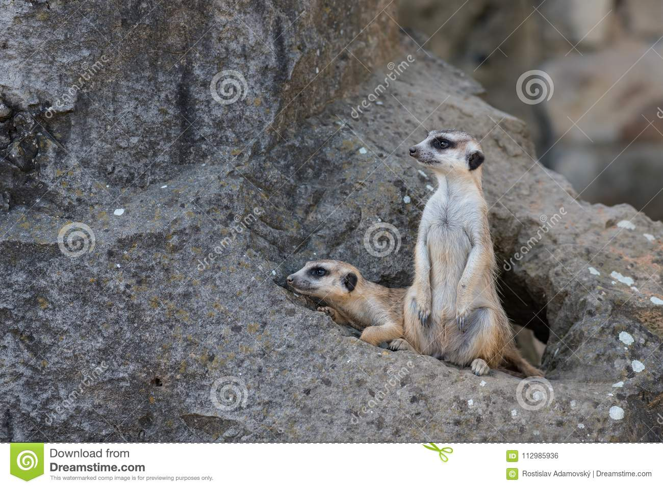 Two Meerkat on rock before the lair