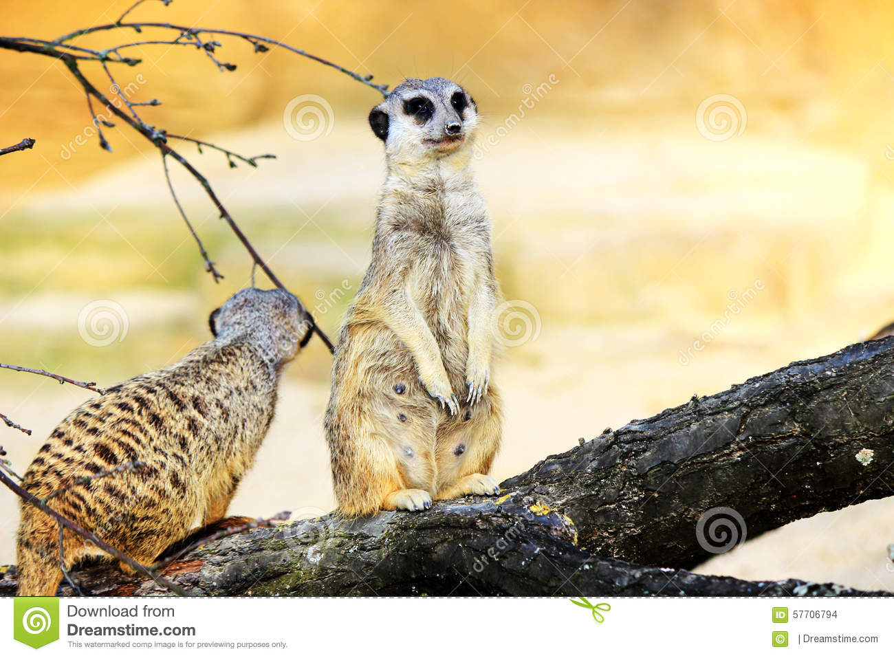 Two Meerkats on a Branch