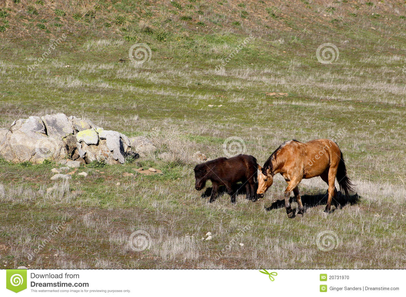 Two Miniature Horses Grazing in A Field