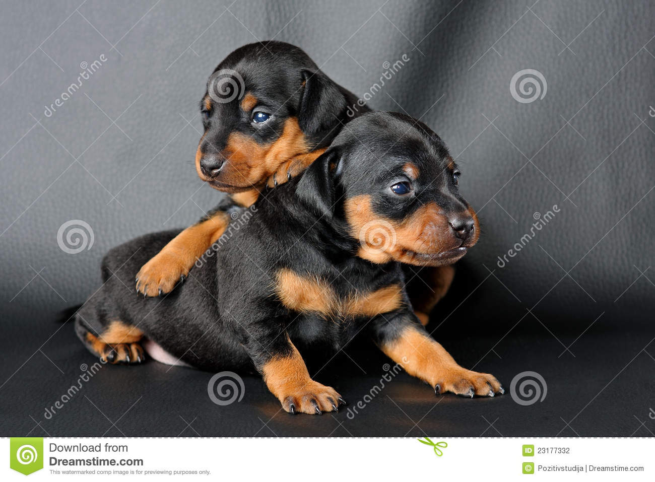 The Miniature Pinscher puppy, 3 weeks old, lying in front of black