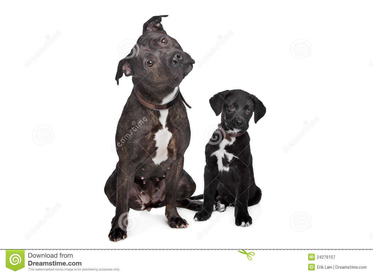 Two Mixed Breed Dogs Stock Image Image Of Front Domestic 24276157