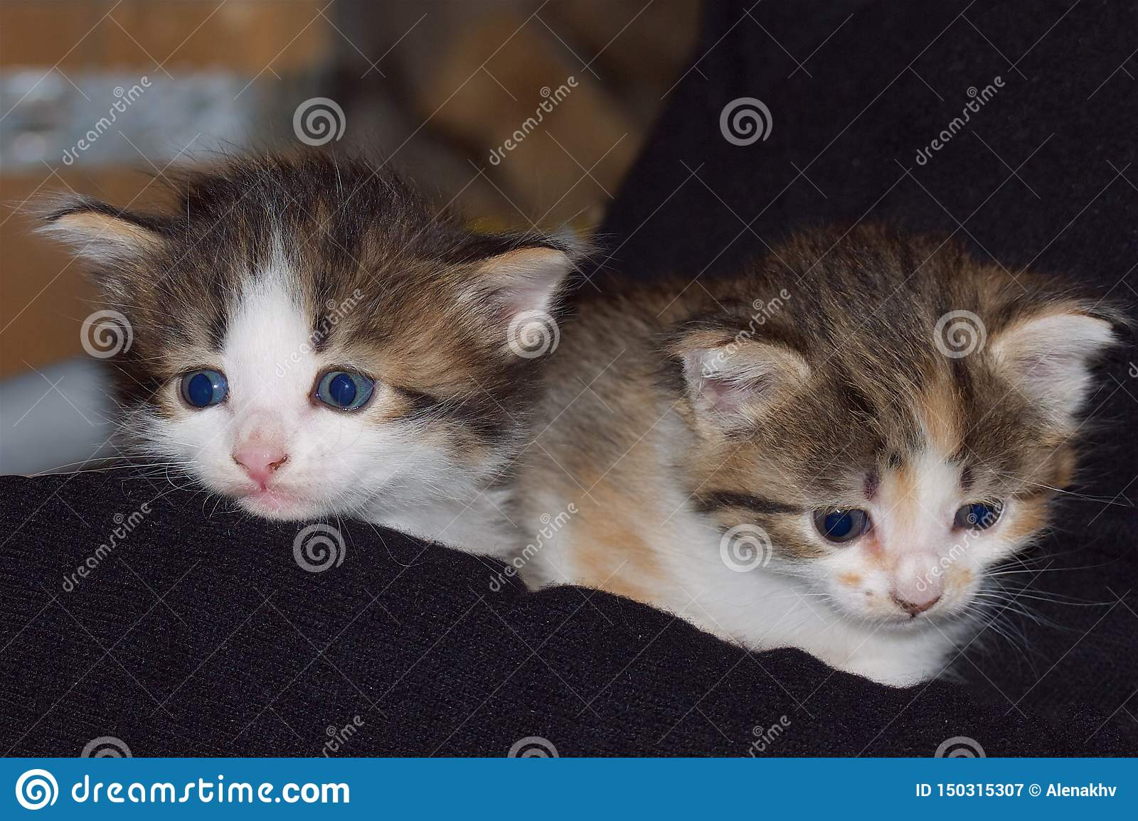 Two mixed colors kittens on a dark background