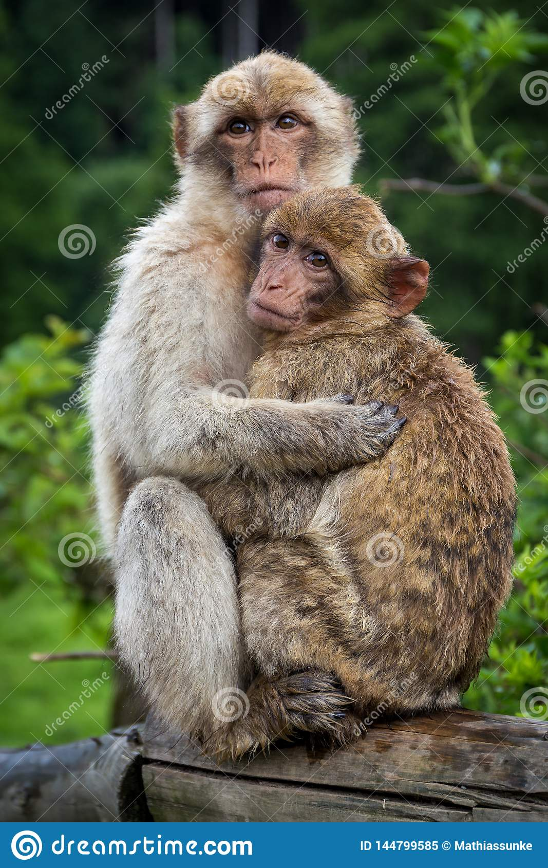Two monkeys hugging each other