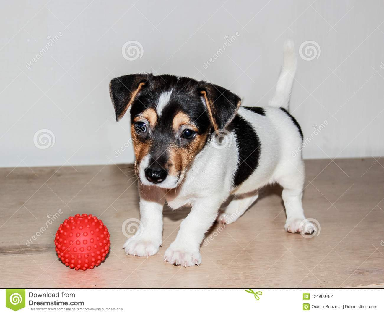 Two Month Old Puppy Jack Russell On White Background Stock