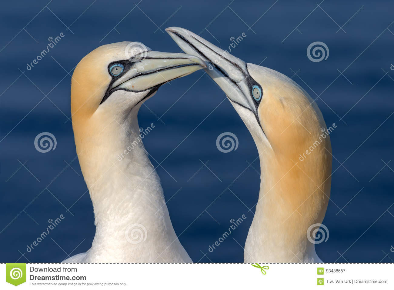 Two Northern Gannets in sunset light at German island Helgoland