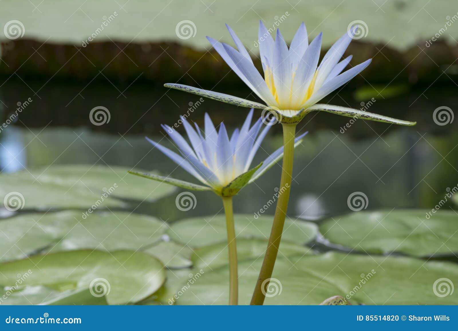 Two Nymphaea Caerulea Blue Lotus Of Egypt Stock Photo Image Of