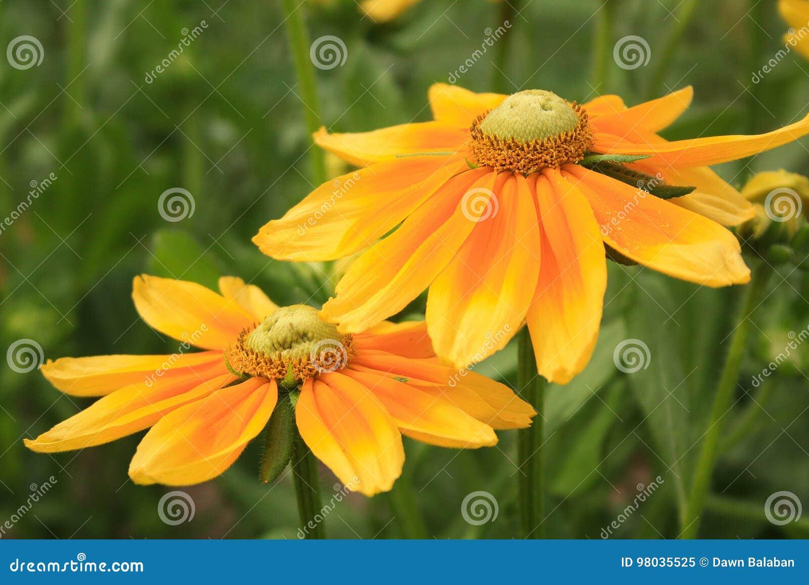 Two Yellow Orange Flowers In Center Stock Image Image Of Gardening