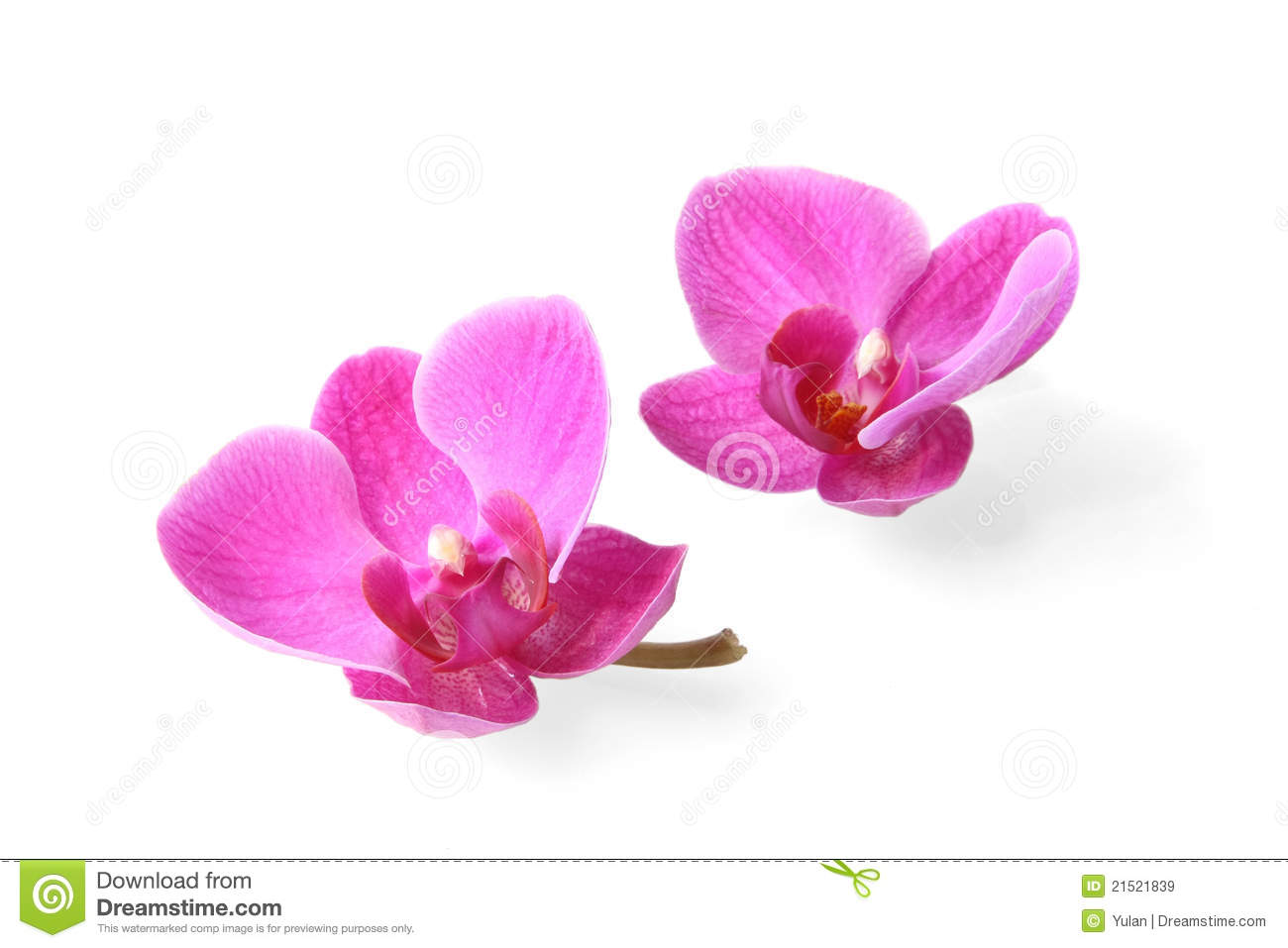 Two Orchid Flowers On White Background Royalty Free Stock ...