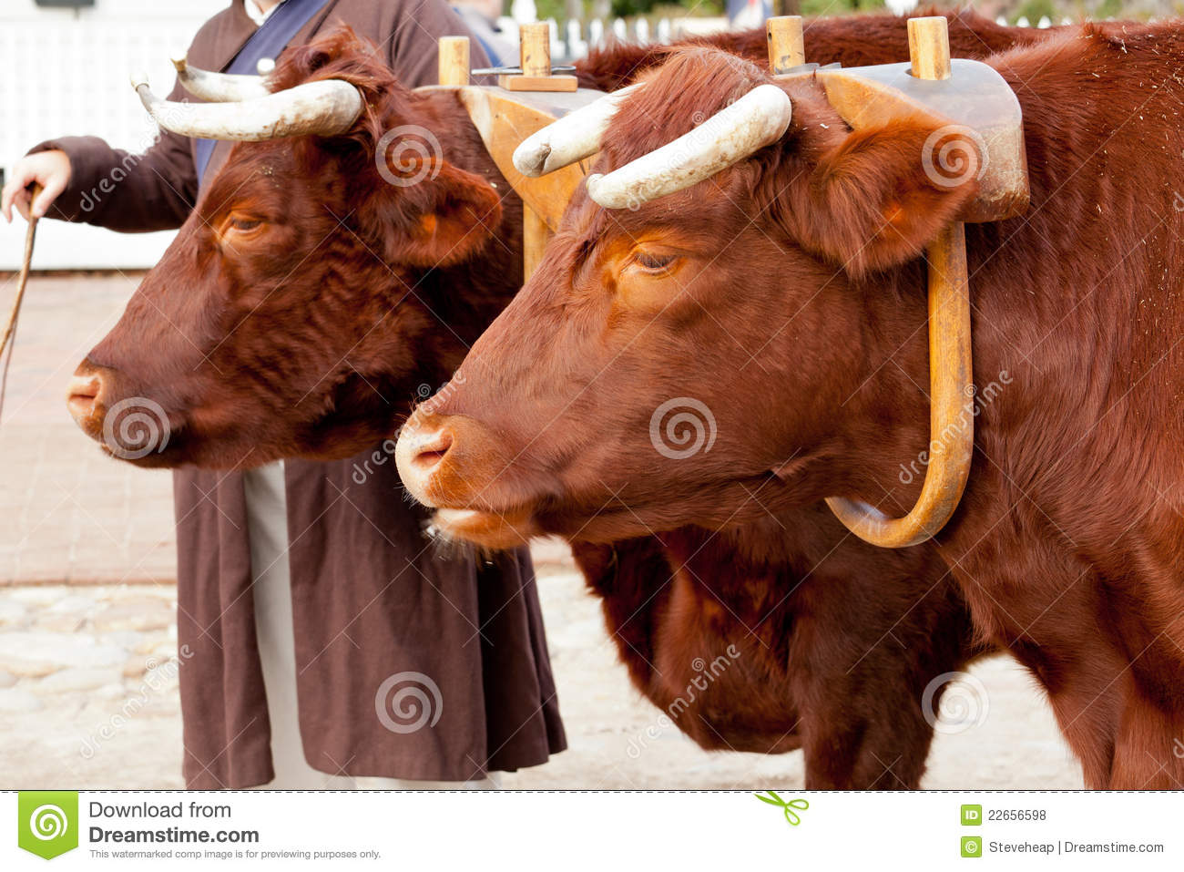 Two Oxen In Yoke Pulling A Cart Royalty Free Stock Photos