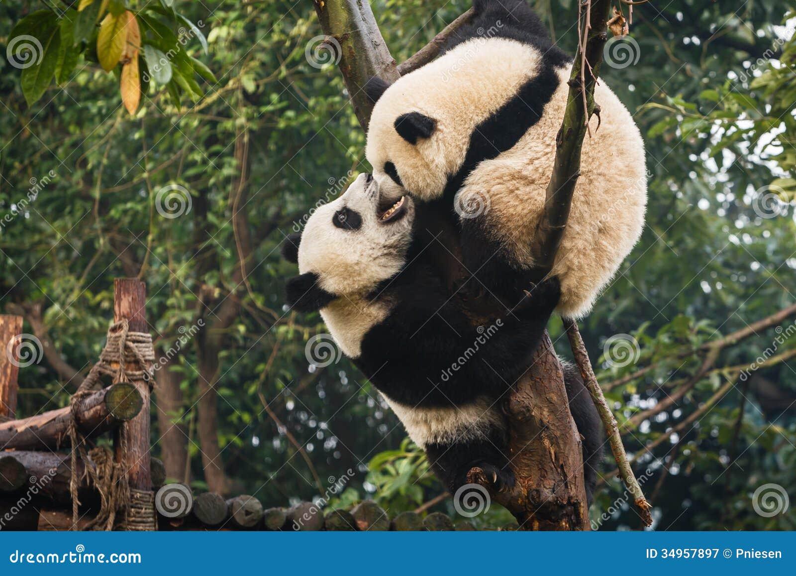 Two Panda Bear Cubs Playing At Chengdu Research Base China