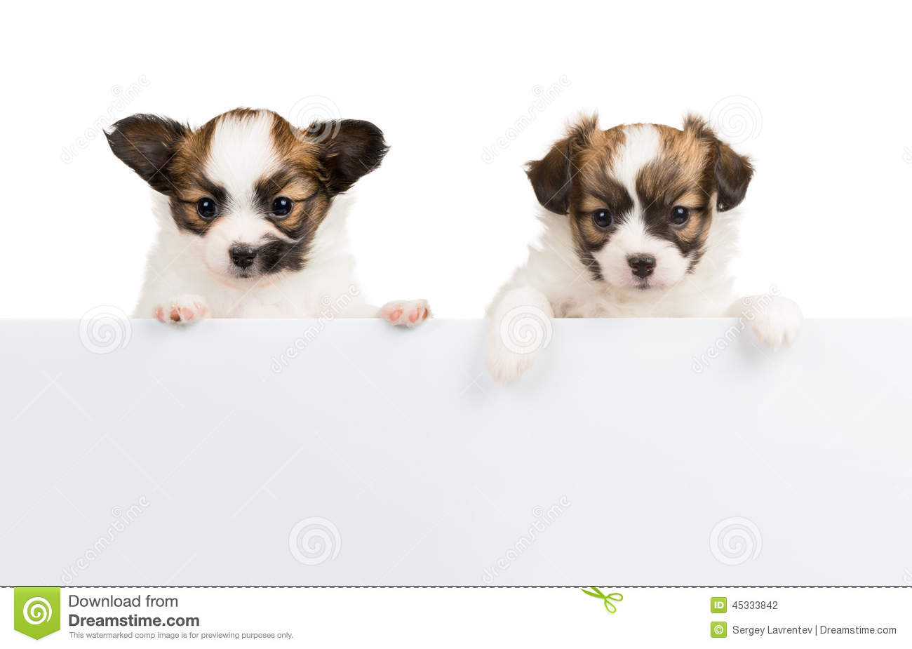 Two Papillon Puppies On White Background Stock Photo Image Of