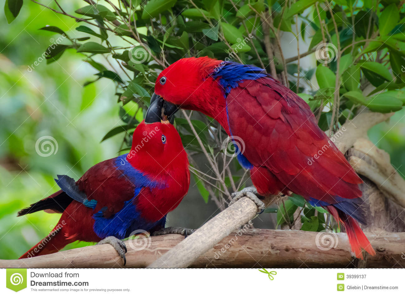 328 Parrots Kiss Photos Free Royalty Free Stock Photos From Dreamstime