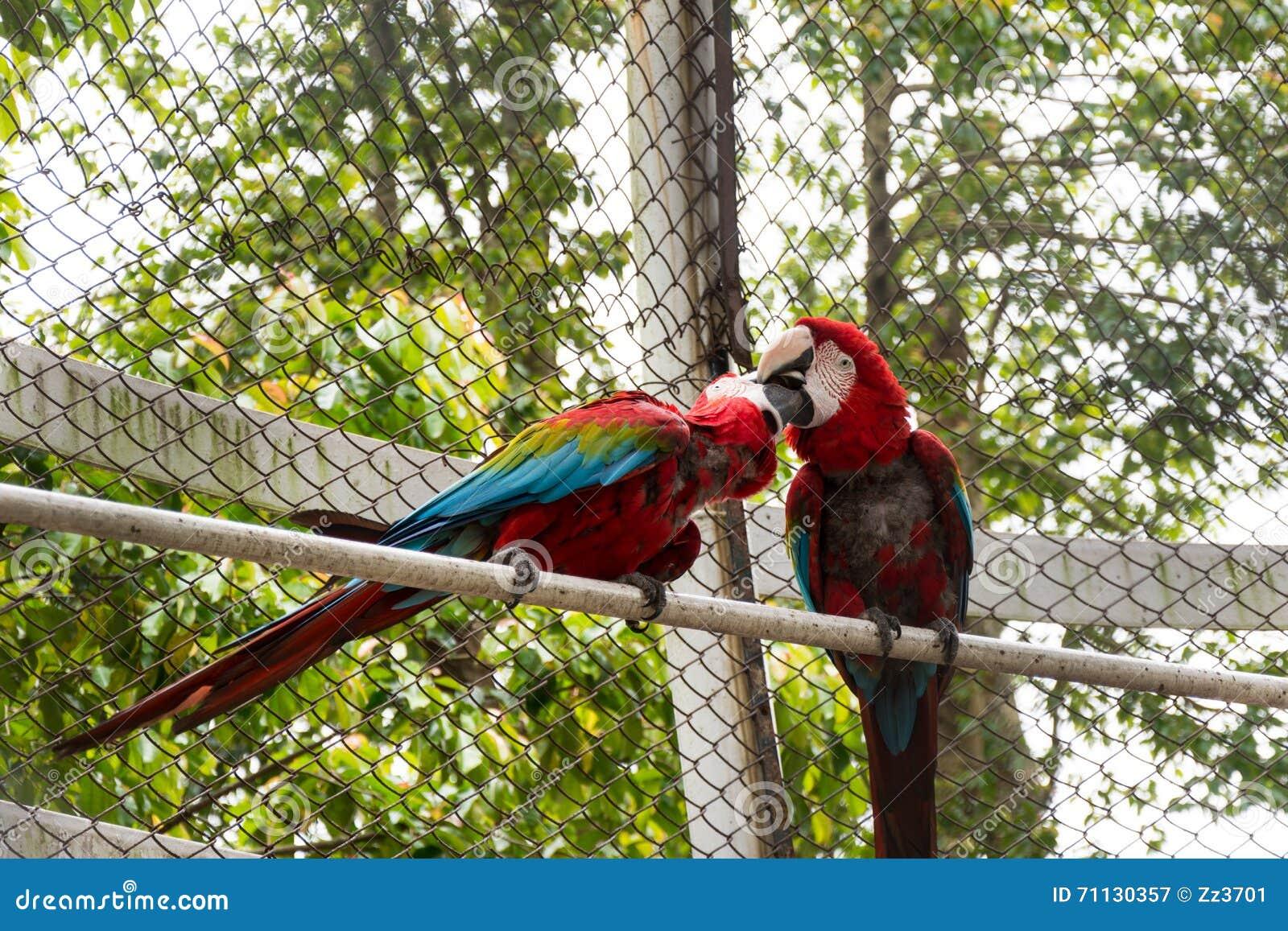 Two parrots kissing