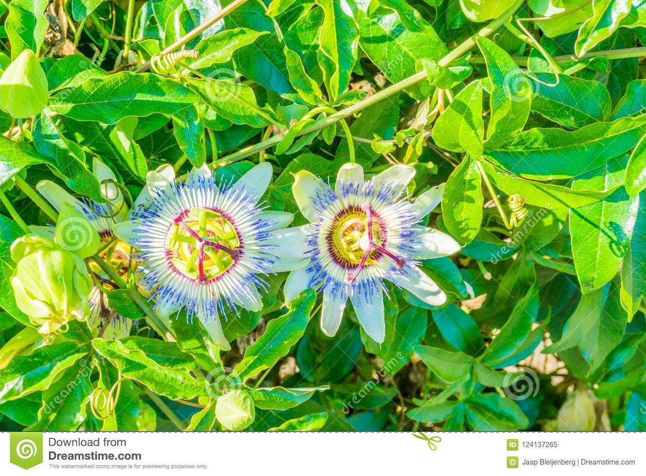 Two passion flowers on a passion flower plant white blue colors