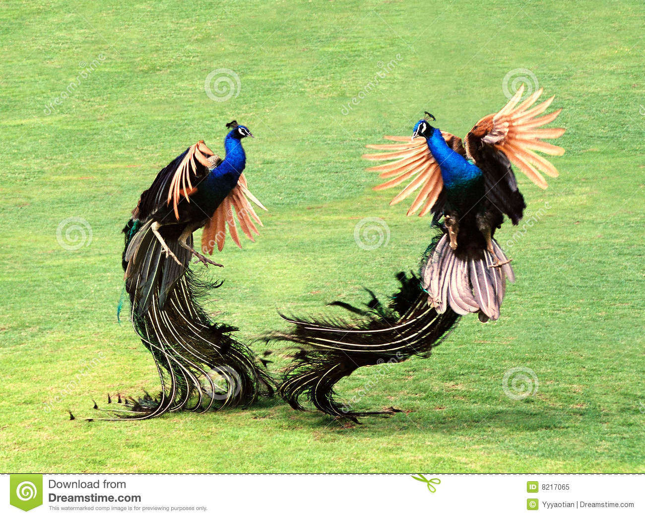 Two Peacocks Royalty Free Stock Photo - Image: 8217065