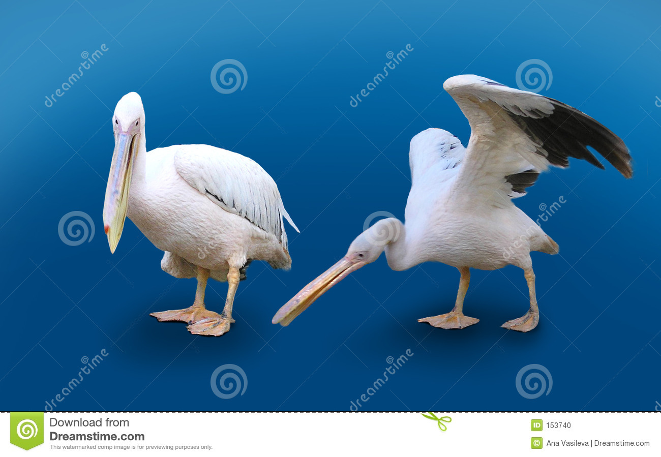 Two Pelicans Isolated On Blue Background