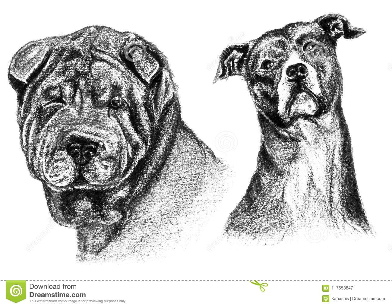 Two pencil and charcoal sketches sharpei and american staffordshire dog