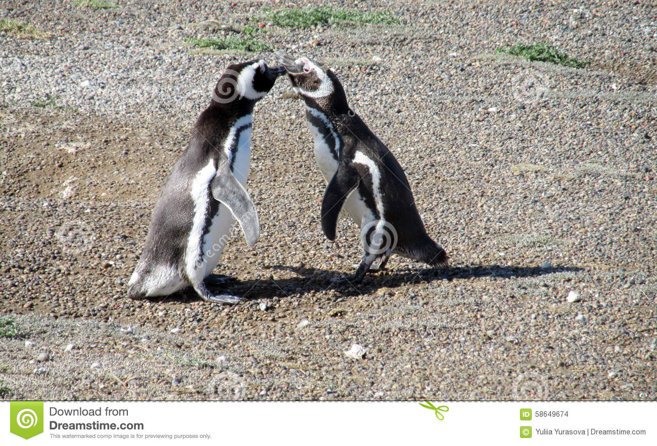 Aninimal Book: Two penguins kissing stock photo. Image of cute, argentina ...